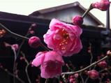 咲き始めた工場の梅の花