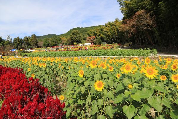 2017山田ひまわり園2