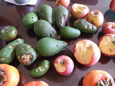 2011_11_16_avocados