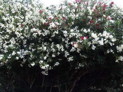2015-07-01-oleander1