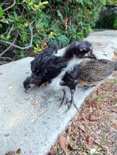 2017-06-26-chick4