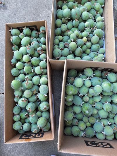 2018-10-09-guava2