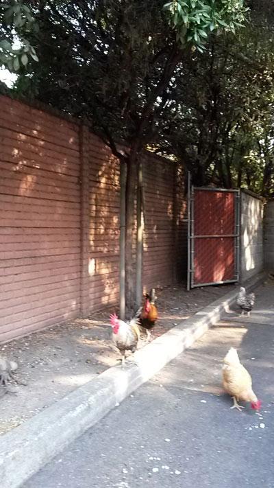 2017-11-08-chicken1