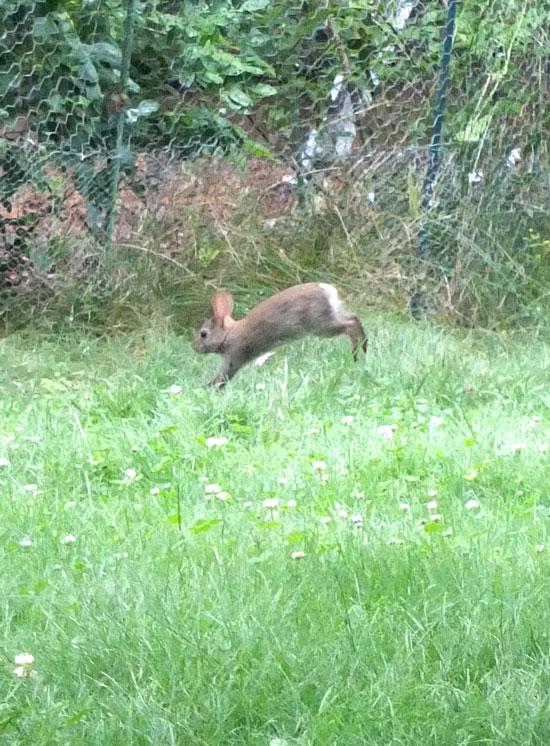 2017-06-13-rabbit1