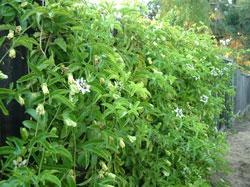 塀を乗り越えた植物