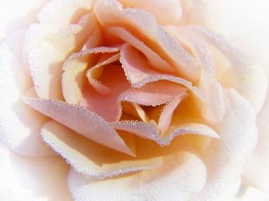 白いバラの花のアップ