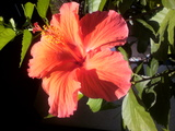 hibiscas