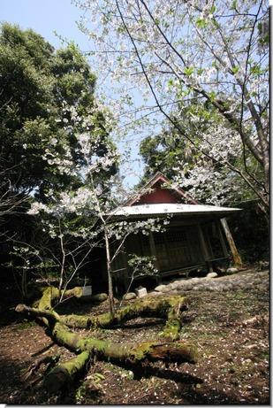 釈迦堂の桜