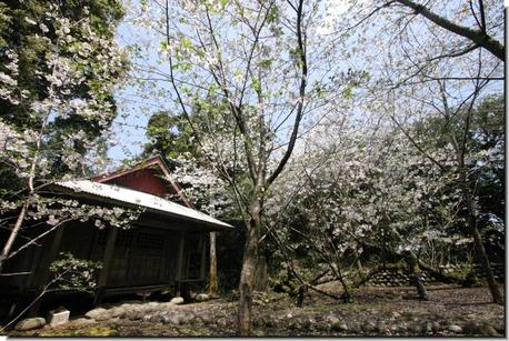 釈迦堂の桜その2