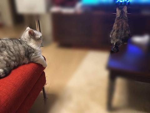 【HKT48】指原莉乃が飼ってるネコ2匹が大変なことになってた件
