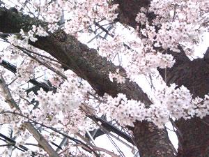 桜小金井市20104