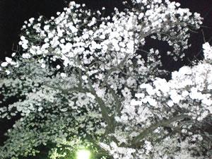 茨城・桜写真