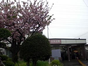 西武多摩川線白糸台駅桜写真
