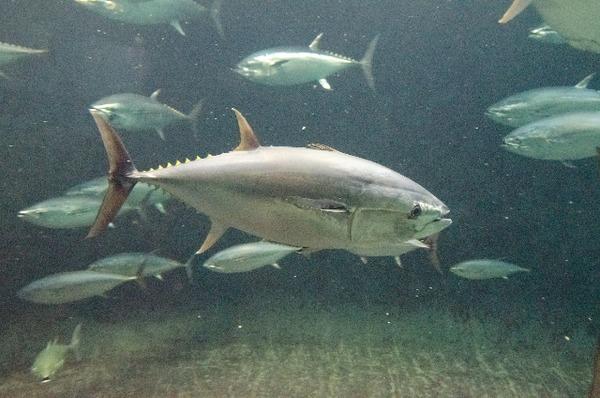 葛西臨海水族園マグロ原因放射能水槽理由