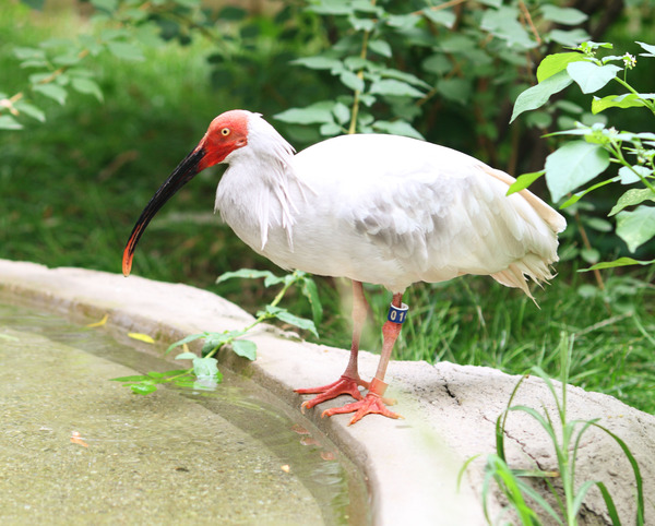 Japanese-Crested-Ibis-4