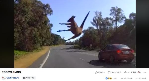 カンガルー交通事故衝突自動車筋肉ジャンプ力オーストラリア犬ヘッドロック獣害おもしろ動画笑い
