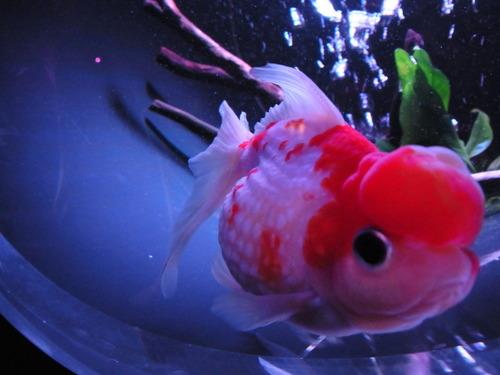 金魚アップ