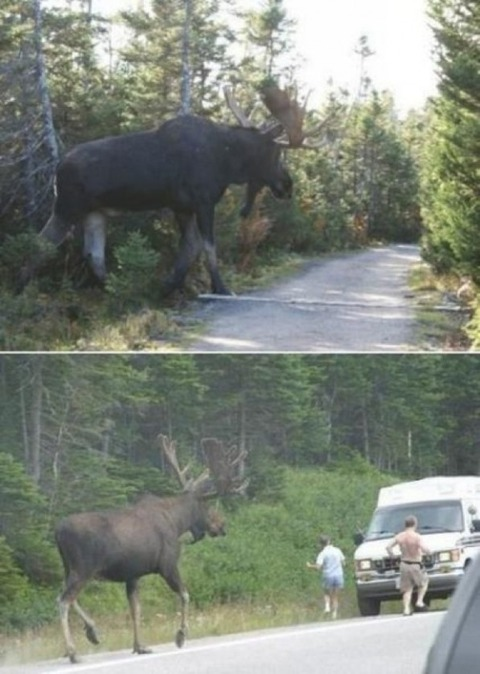 Didnt-know-moose-came-this-big_-597x838