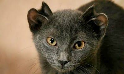Yoda-The-Cat-with-Four-Ears-003-1294482227