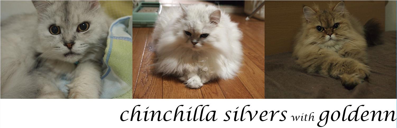Chinchilla_Silvers with Goldenn  チンチラシルバーズ・ゴールデン