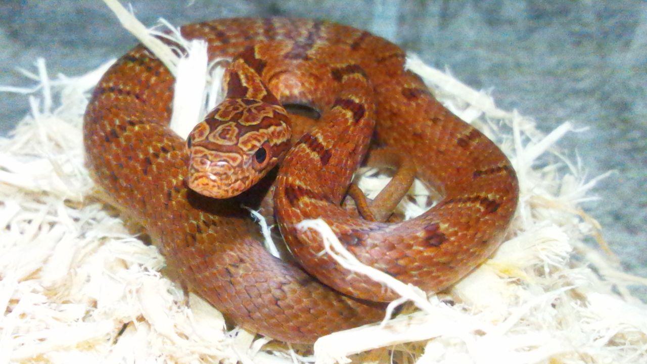 シマヘビの画像 p1_18