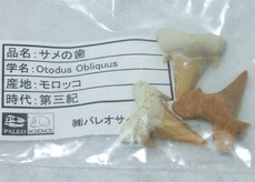 ミネラルショー2009-サメの歯