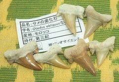新宿ミネラルフェア2011-サメの歯01ltss