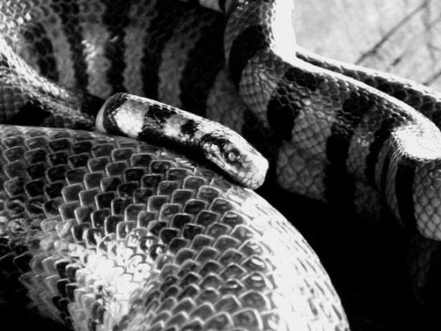 アマガサヘビ : キロネックスマ...
