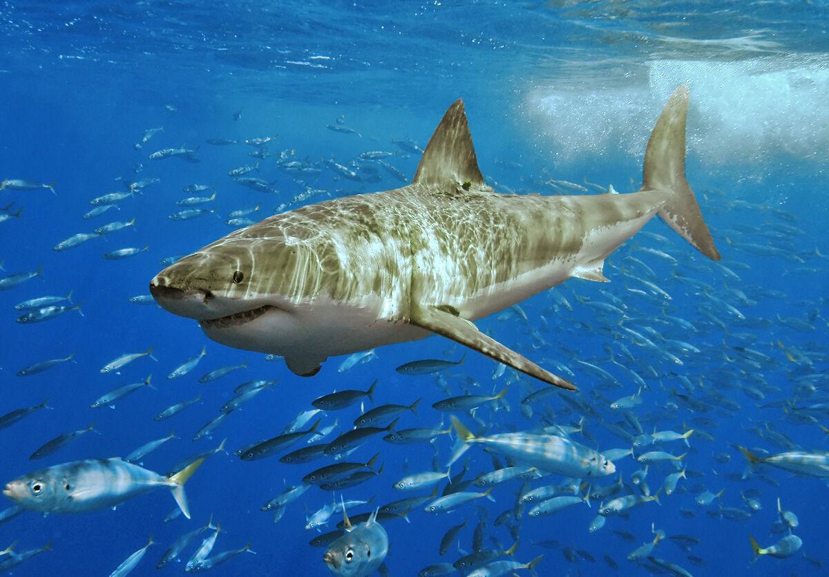 ホホジロザメの画像 p1_37