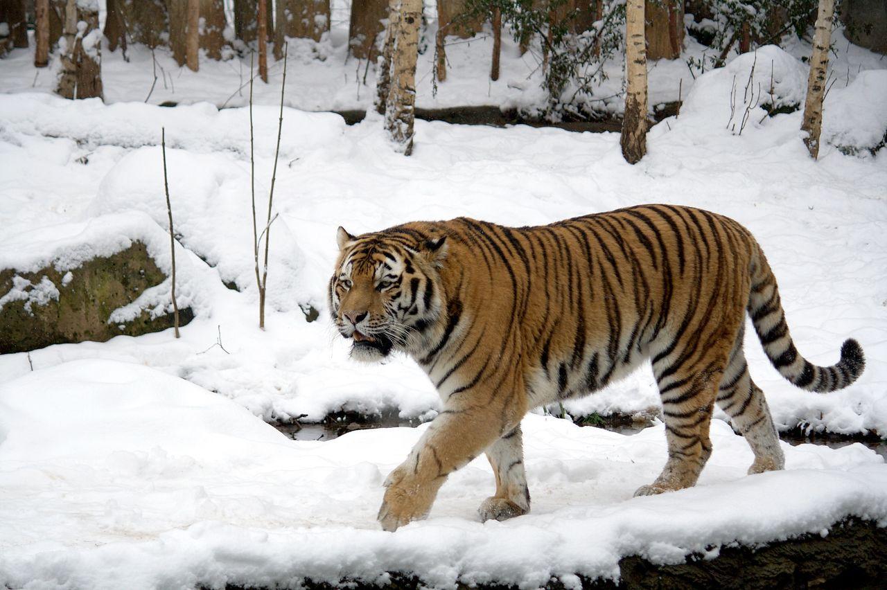 シベリアトラ : キロネックスマニア