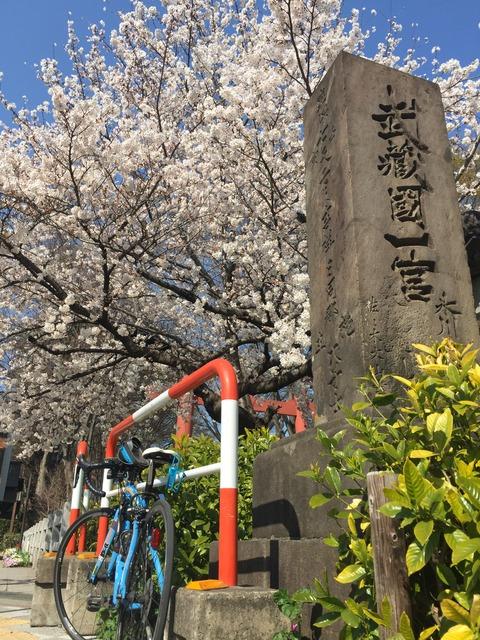 埼玉ポタリング@大宮公園でお花見~七分咲きかな?