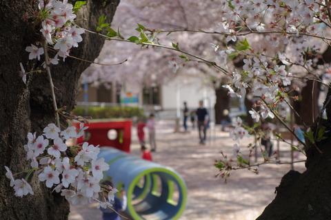 今年の桜・・・撮影した写真を一気にアップ