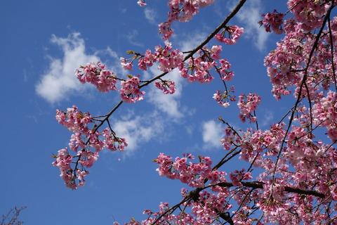 埼玉ポタリング@川口の密蔵院へお花見ライド