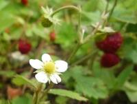 wildstrawberry