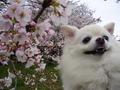 桜とルイたん