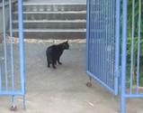 大和村の黒猫