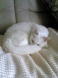 眠くて顔隠すシロ