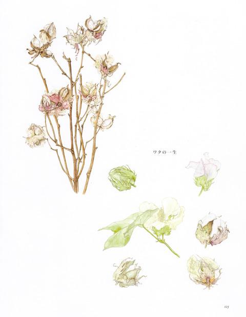 湘南の草_ワタ