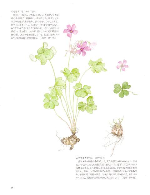 湘南の草_イモカタバミ