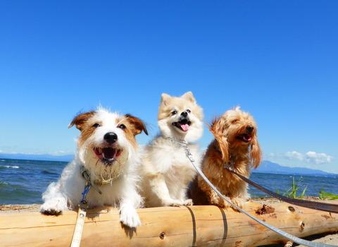 うちの犬たちと海