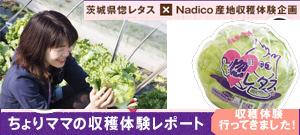 茨城県産惚レタス ちょりママの収穫体験レポート