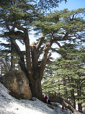 Libanonzeder0329
