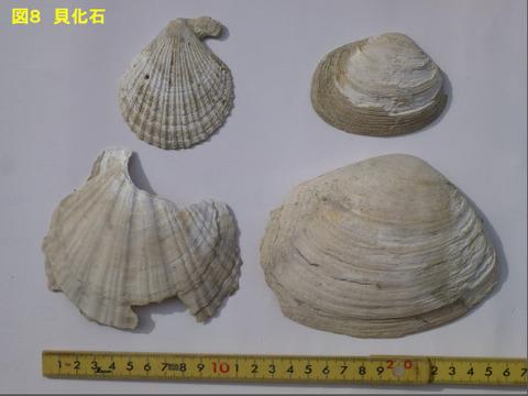 66貝化石