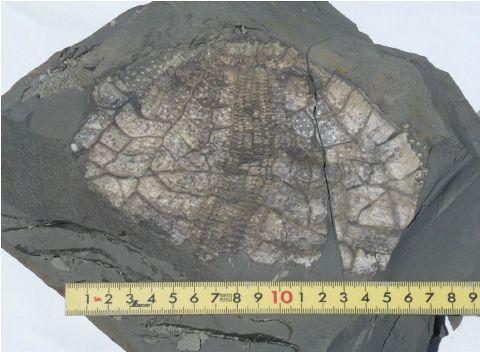 ウルトラブンブク外表面の化石Ed