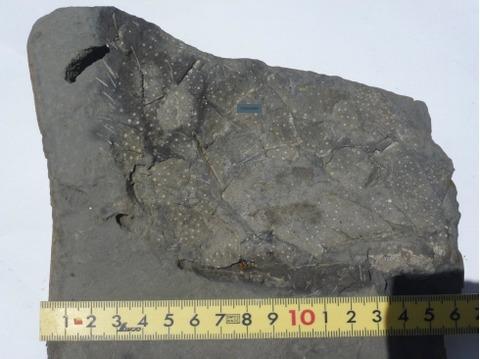 ウルトラブンブク外表面の化石2Ed