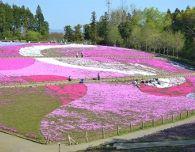 ㉑芝桜の丘_近景0068Ed