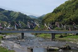 日野川をまたいで泳ぐ鯉のぼり