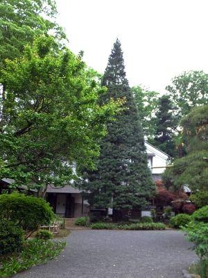 想定樹齢180年の高野槇2
