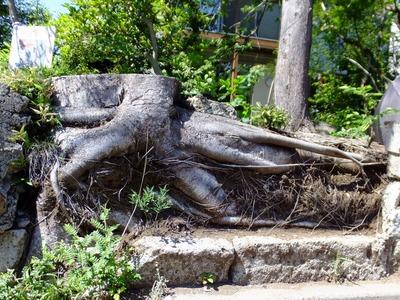 欅の根っこ