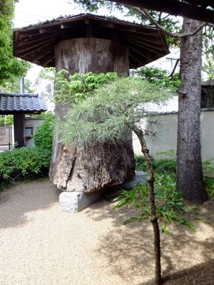 樹齢500年の欅